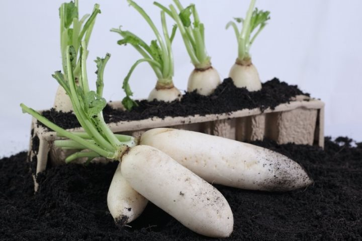 cách trông rau cải củ tại nhà
