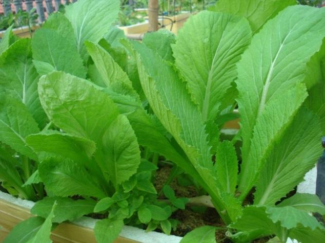 cách trồng chăm sóc rau cải