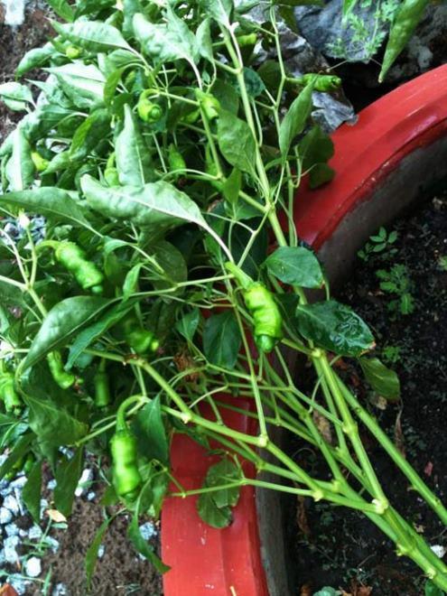 cách trồng ớt peter tại nhà