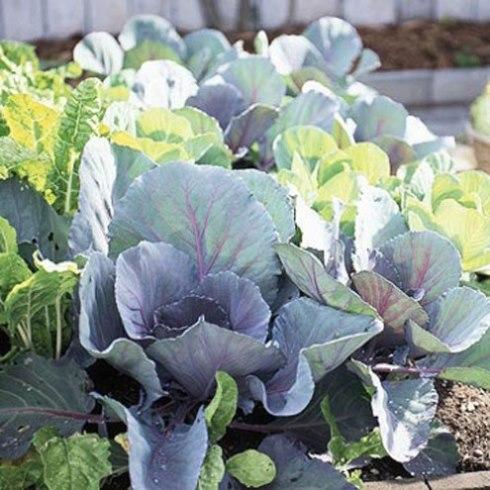 các loại rau trồng trong mùa đông