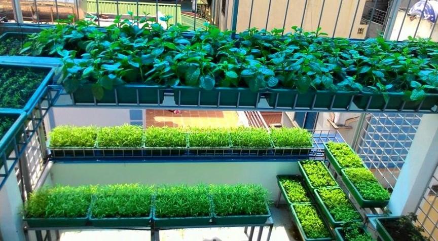 trồng rau sạch trên sân thượng