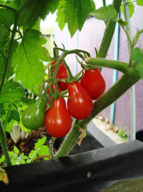 trồng cà chua bi tại nhà