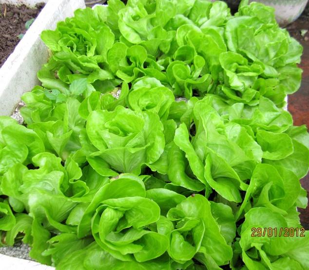 cách trồng chăm sóc rau xà lách