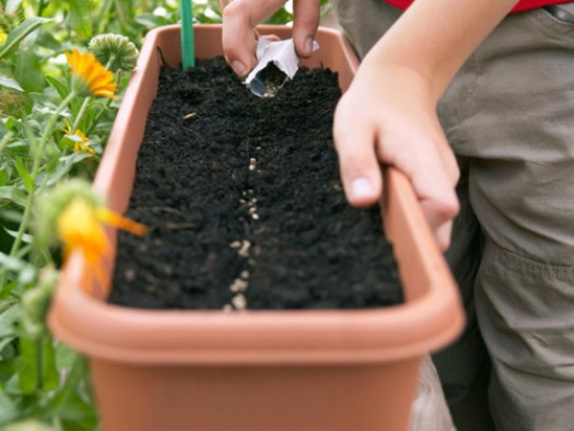 Cách trồng rau xà lách cực kỳ đơn giản