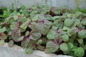 lơi ích từ việc trồng rau dền tại nhà