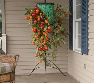 mẹo nhỏ trồng cà chua treo ngược
