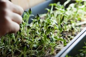 trồng rau mầm ngon nhanh thu hoạch