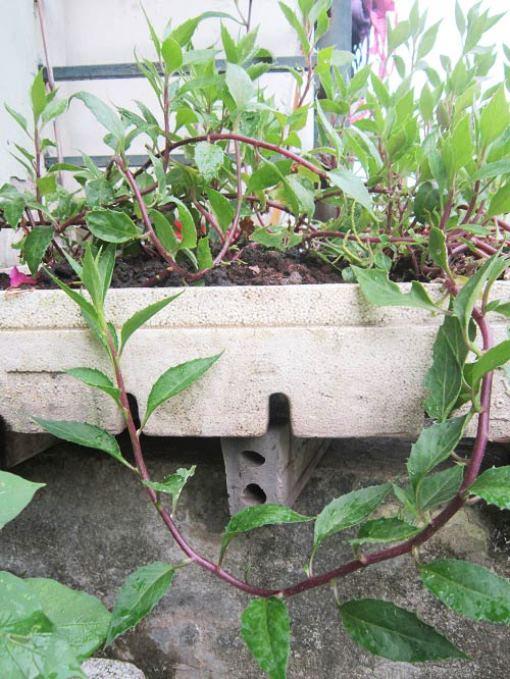 trồng rau sạch chữa bệnh cho cả nhà