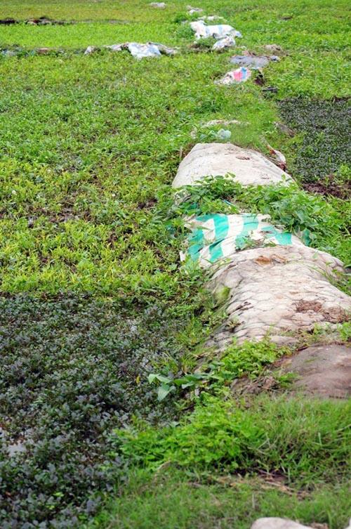 Dân hà nội đang ăn rau xanh mướt giữa nghĩa địa