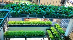 Cách trồng rau trên sân thượng