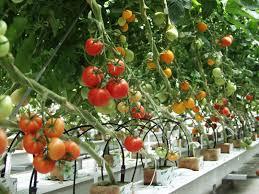 hướng dẫn cách trồng cà chua bi tại nhà