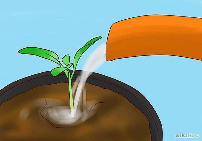Cách trồng cà chua bi tại nhà
