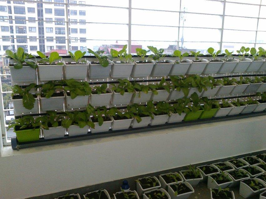 trồng rau sạch trên tường