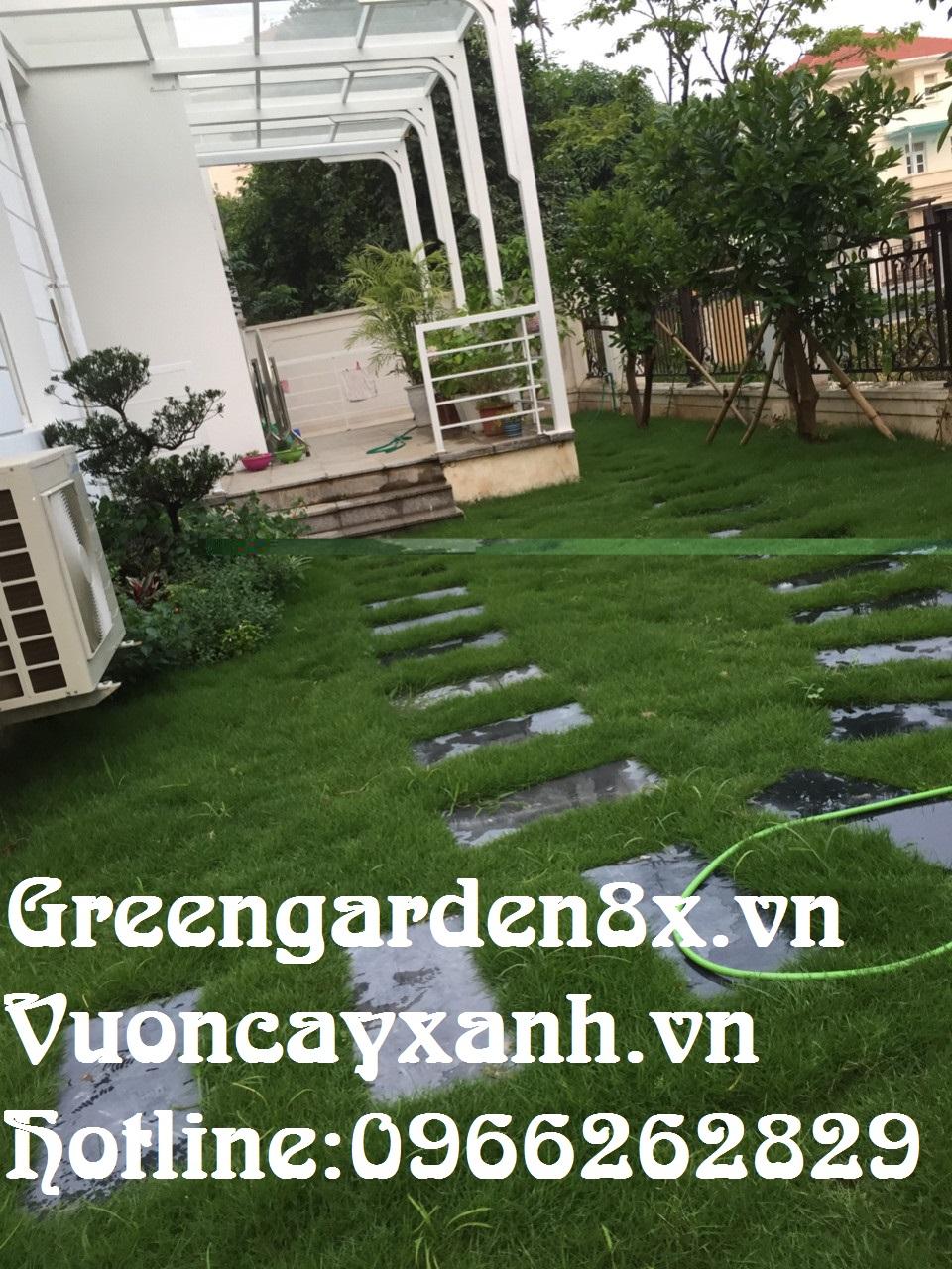 Hướng dẫn trồng cỏ nhung nhật