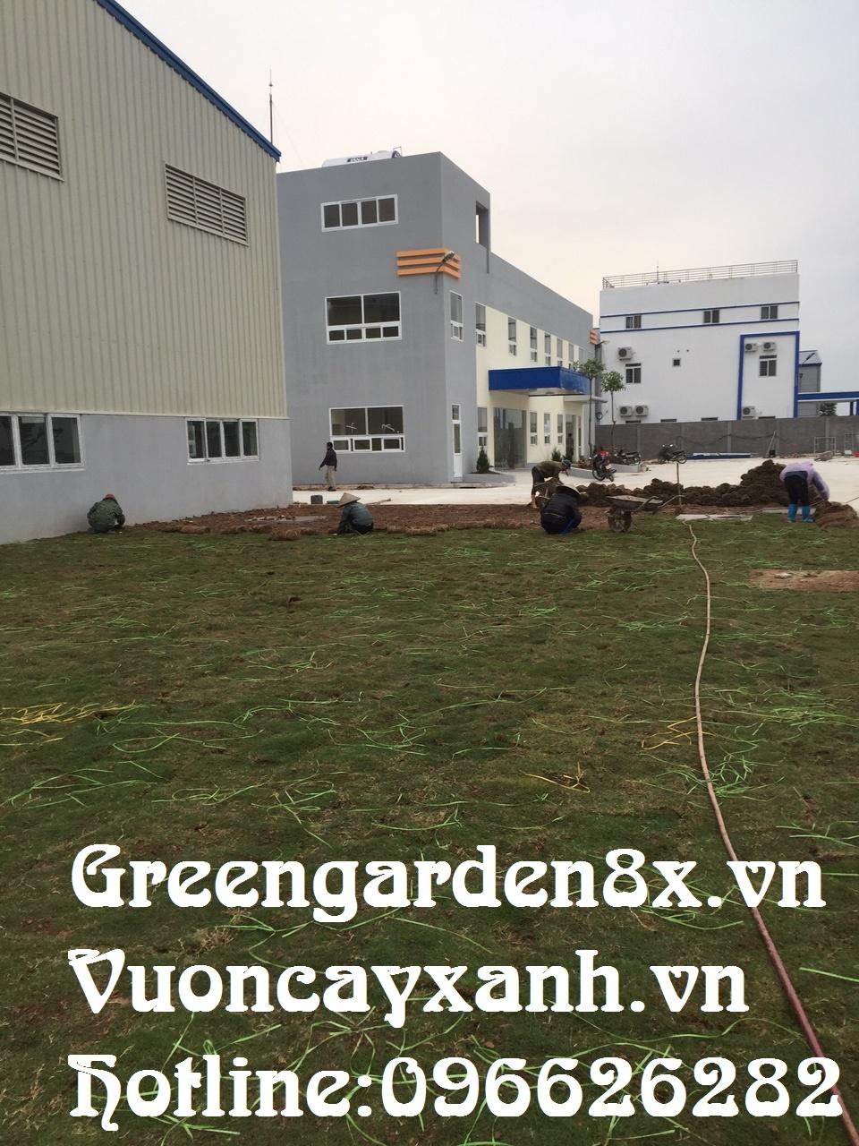 hướng dẫn trồng cỏ nhung ,nhật