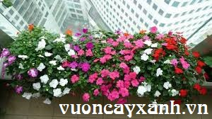 10 loại hoa treo ban công làm mê mẩn lòng người