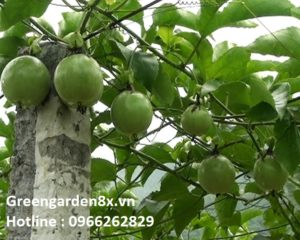 cây chanh leo