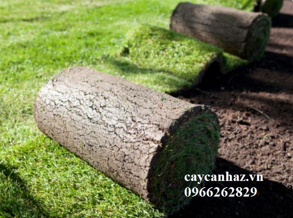 Bí quyết trồng và chăm sóc cỏ sân vườn