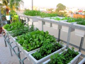 Oại rau trồng trên tầng thượng