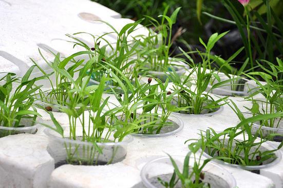 chăm sóc cây rau thủy canh