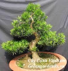 cây tùng la hán đẹp